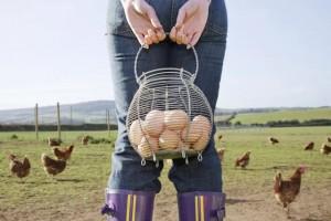 為何「自由放養」令雞蛋更健康?