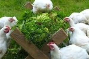 為何「無激素」雞肉更健康?第一篇
