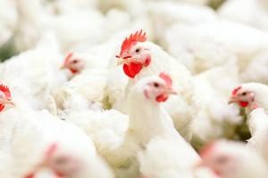 為何「慢速飼養」令雞肉更健康?